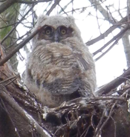 Baby Great Horned Owl!