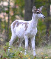 White Fawn at Caumsett