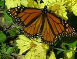 Monarch buterfly feeds on flowers to prepare for migration